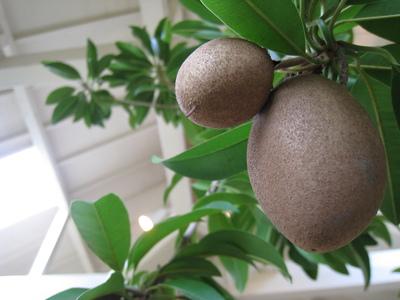 チュ−インガムの木.JPG